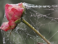 Elisabeth Schmock: Vernetzte Rose